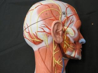 Greater occipital nerve  Wikipedia